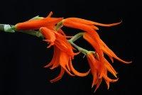 Сорта орхидей: Ada aurantiaca