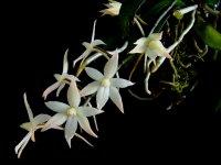 Сорта орхидей: Aerangis biloba