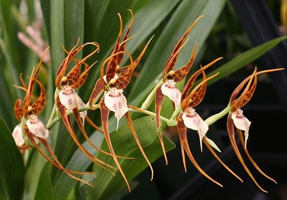 Сорта орхидей: Ada glumacea