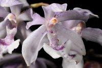 Сорта орхидей: Aganisia cyanea