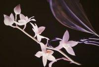 Сорта орхидей: Aganisia pulchella