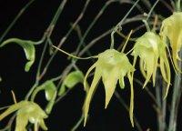 Сорта орхидей: Aeranthes grandiflora