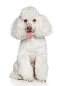 Породы собак, с помощью которых вы могли бы устроить себе свидание: пудель