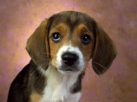 Породы собак, с помощью которых вы могли бы устроить себе свидание: бигль