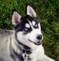 Породы собак, с помощью которых вы могли бы устроить себе свидание: сибирский хаски