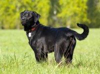 Породы собак, с помощью которых вы могли бы устроить себе свидание: лабрадор-ретривер