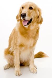 Породы собак, с помощью которых вы могли бы устроить себе свидание: золотой ретривер