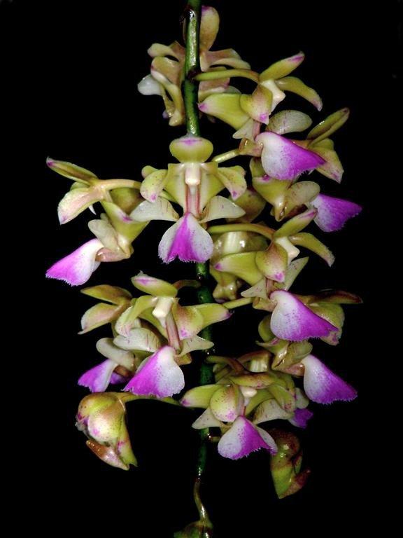 Сорта орхидей: Aerides houlletiana