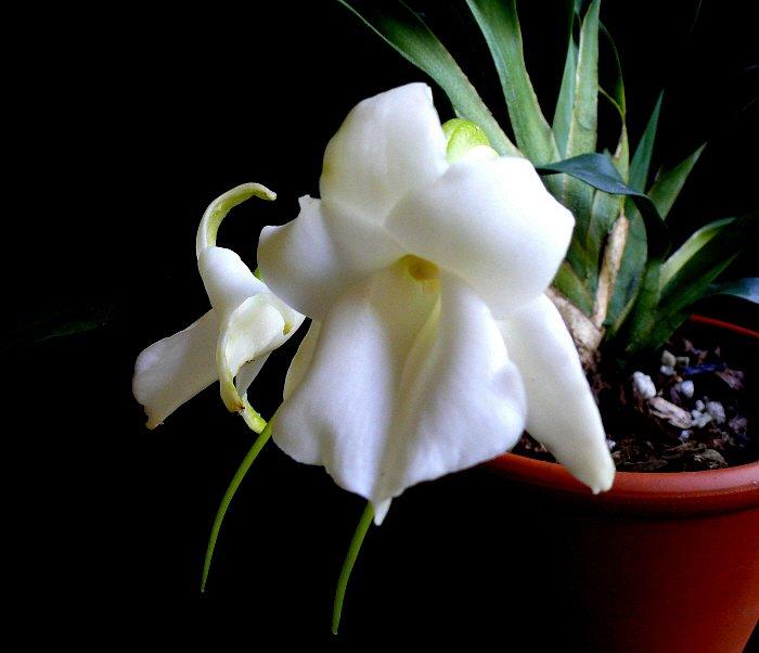 Сорта орхидей: Angraecum magdalenae
