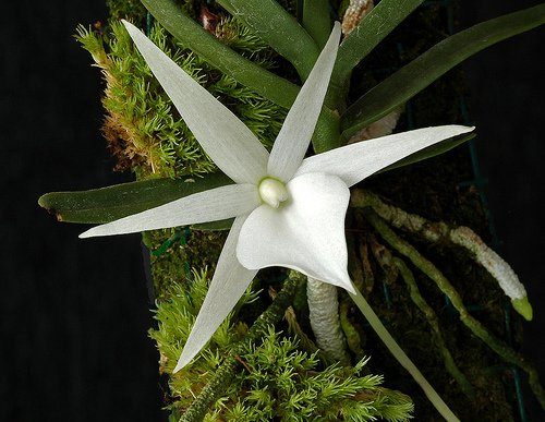 Сорта орхидей: Angraecum didieri