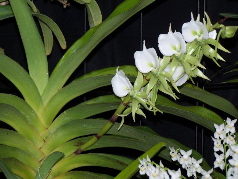 Сорта орхидей: Angraecum eburneum