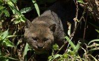 Животные Северной Америки: ягуарунди