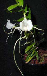 Сорта орхидей: Angraecum germinyanum