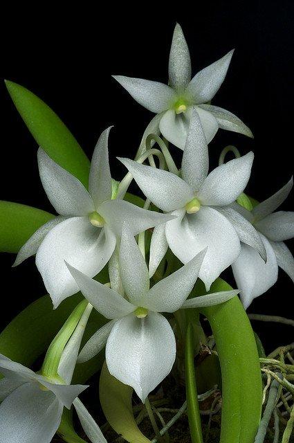 Сорта орхидей: Angraecum leonis