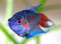 Аквариумные рыбки: макропод обыкновенный