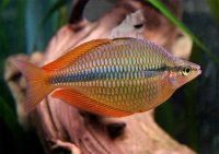 Аквариумные рыбки: радужница трехполосая