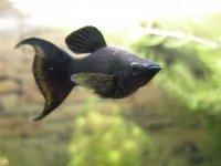 Аквариумные рыбки: моллинезия