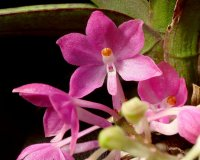 Сорта орхидей: Ascocentrum ampullaceum