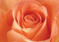 Язык цветов: что значит персиковая роза