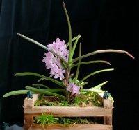 Сорта орхидей: Ascocentrum christensonianum