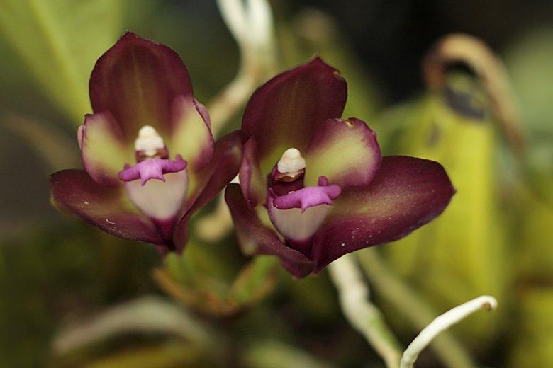 Сорта орхидей: Bifrenaria atropurpurea