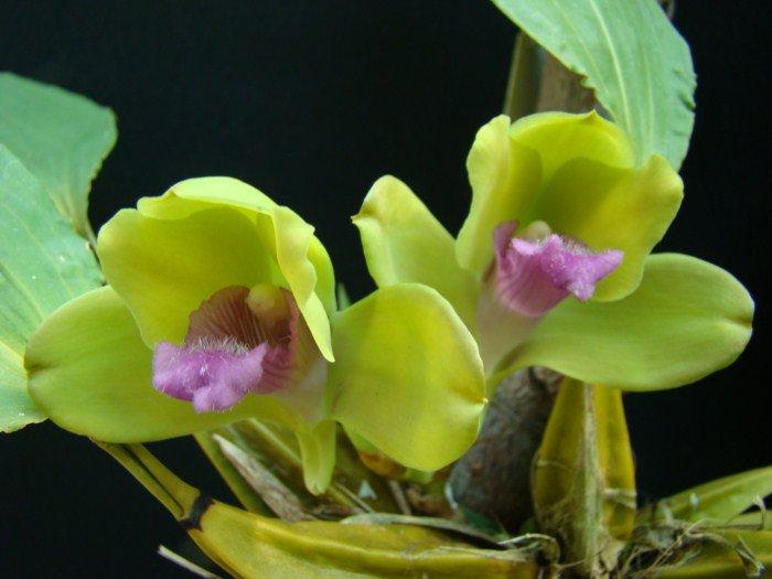 Сорта орхидей: Bifrenaria inodora