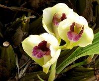 Сорта орхидей: Bifrenaria harrisoniae