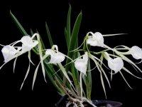 Сорта орхидей: Brassavola nodosa