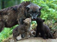 Супружеская верность среди животных: волки