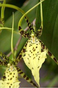 Сорта орхидей: Brassia Rex