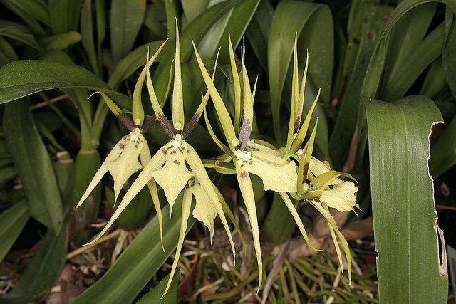 Сорта орхидей: Brassia angusta