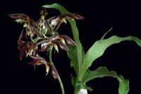 Сорта орхидей: Catasetum cernuum