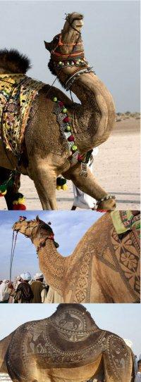 Конкурс красоты среди верблюдов