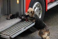 Собака, спасающая своих щенков