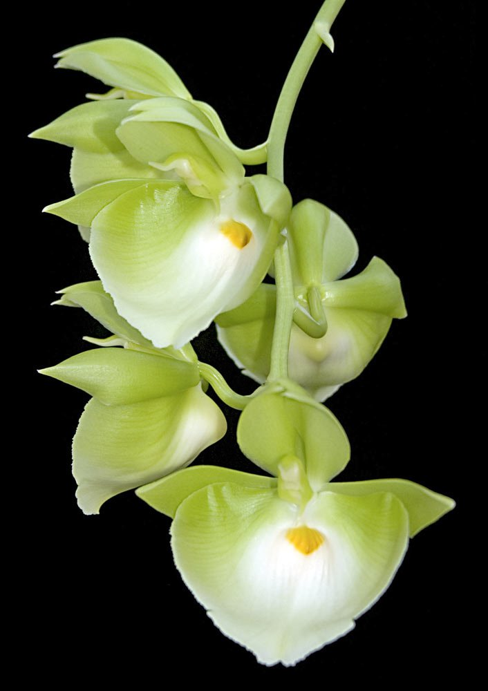 Сорта орхидей: Catasetum pileatum