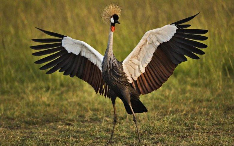 Самые красивые птицы в мире: венценосный журавль