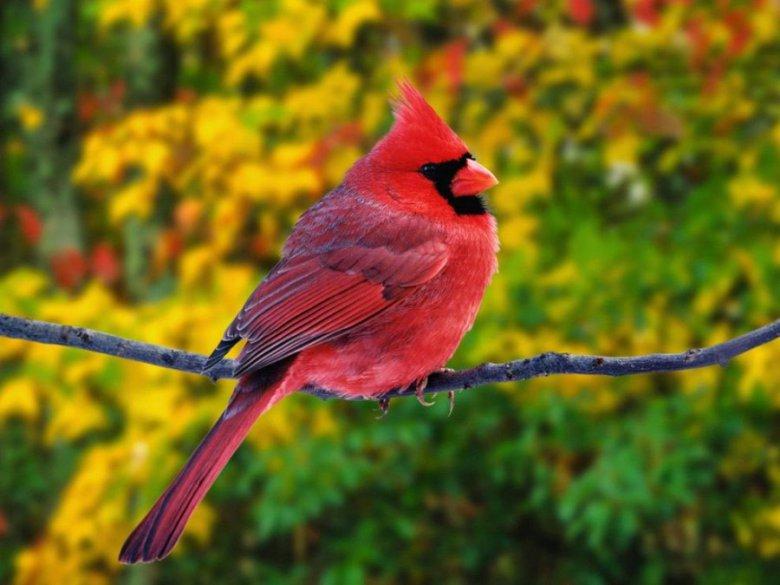Самые красивые птицы в мире: красный кардинал