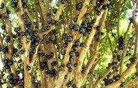 Самые необычные продукты: виноградное дерево жаботикаба