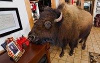 Бизоны в качестве домашних животных