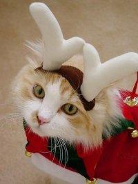 Новогодние фотографии кошек: кошка в рожках