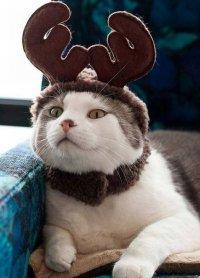 Новогодние фотографии кошек: кошка в рожках 2