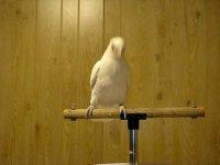 Танцующий попугай Фрости