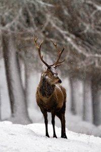 Великолепный олень