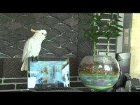 Попугай подпевает Gangnam Style