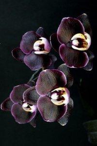 Черный фаленопсис