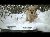 Очаровательные щенки голден ретривера играют в снегу