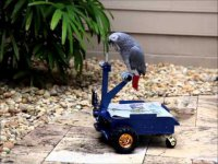 Попугай на маленьком электроскутере