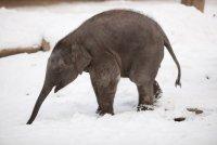 Слоненок в Берлинском зоопарке радуется снегу