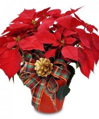 Растения-символы Рождества: пуансеттия