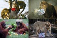 Животные в зоопарках радуются рождественским подаркам